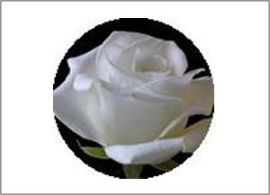 精油系列:白玫瑰